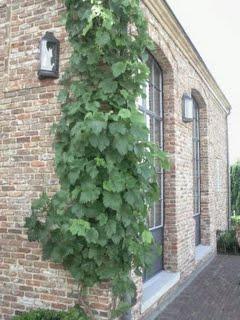 Druivelaar in zomer
