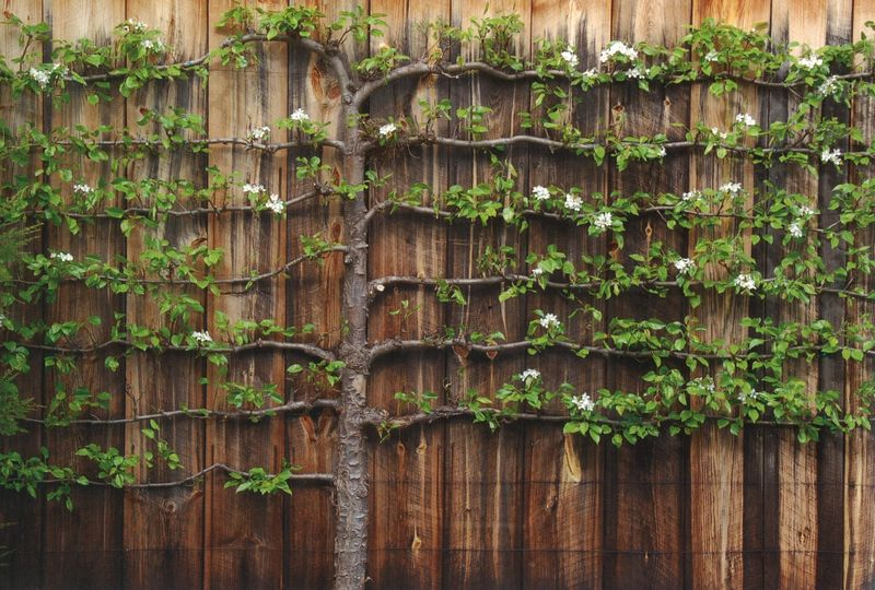 Favorite Garden Element Espalier Trees Velvet Amp Linen