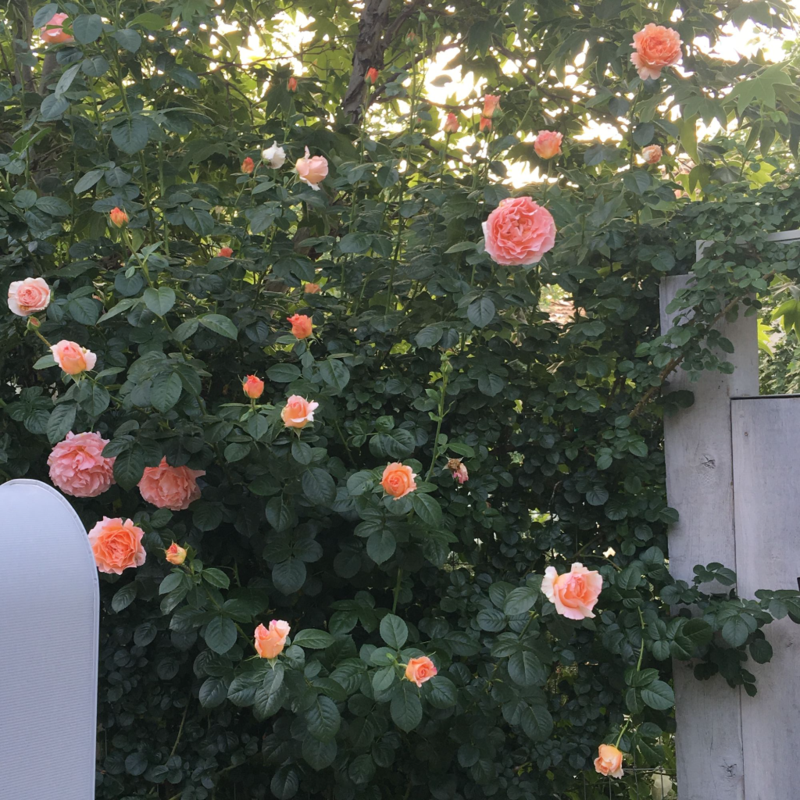Patina Farm Roses: Polka by Front Gate