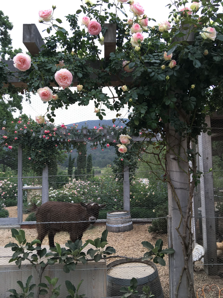 Patina Farm: Eden Rose Vine by the Goat Garden