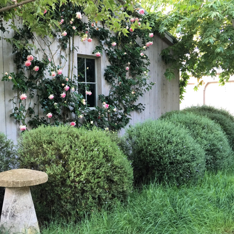 "Patina Farm: Eden Rose Vines on the Garage ""Barn"""