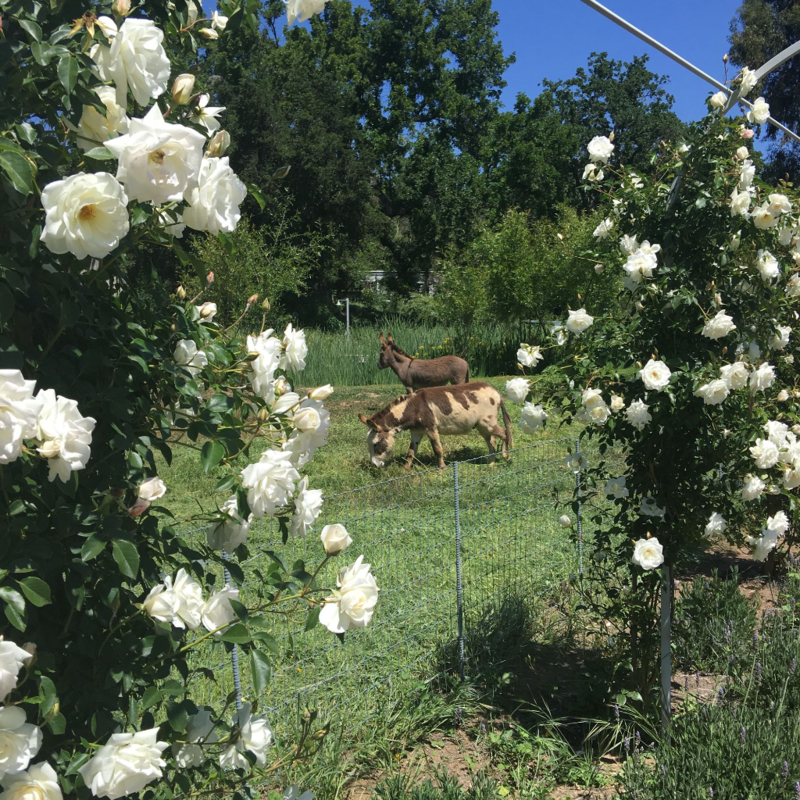 Patina Farm: White Floribunda Rose Vines on the Arbor
