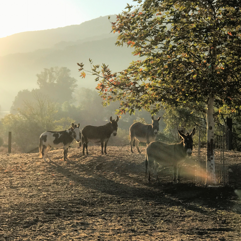 Donkeys at Patina Farm. Brooke Giannetti. #patinafarm #giannettihome #ojai #modernfarmhouse